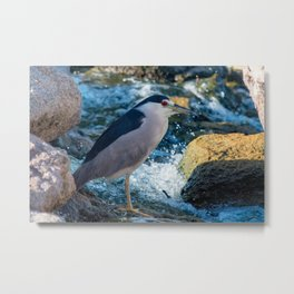 Black-Crowned Night Heron Metal Print