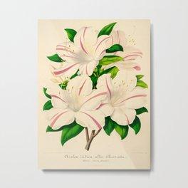 Azalea Alba Magnifica (Rhododendron indica) Vintage Botanical Floral Scientific Illustration Metal Print