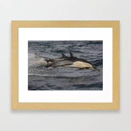 Common Dolphin flying through the air.  Framed Art Print
