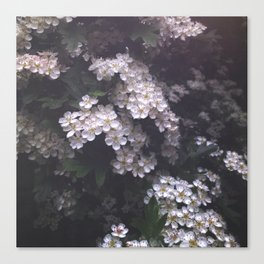 Hawthorn Blossoms Canvas Print