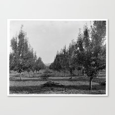 Pear tree orchard, ca.1900 Canvas Print