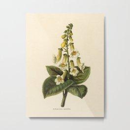 1800s Encyclopedia Print of Flower (Achimenes Amabilis) Metal Print