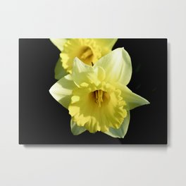 Daffodil flower on a black background Metal Print