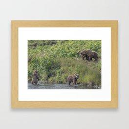 A Group of Kodiak Bears on Kodiak Island Framed Art Print