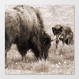 Aggressive wolf hunting bison Canvas Print