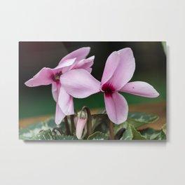 pink cyclamen Metal Print