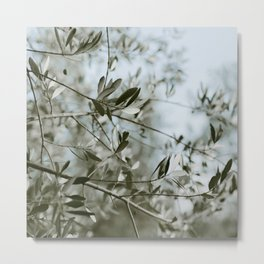 Olive Branches in Tuscan Olive Grove Metal Print