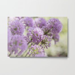Allium - Onion Flowers 9 Metal Print