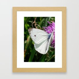 LARGE CABBAGE WHITE BUTTERFLY FEEDING ON KNAPWEED Framed Art Print