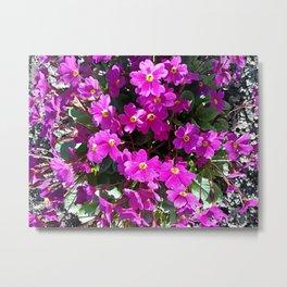 Primrose purple flower Metal Print