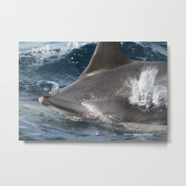 Common Dolphins Metal Print