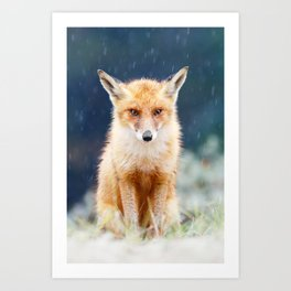 I Can't Stand the Rain (Red Fox in a rain shower) Art Print