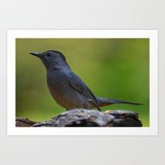 Gray Catbird Art Print