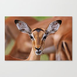 Young Impala - Africa wildlife Canvas Print