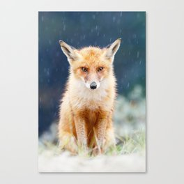 I Can't Stand the Rain (Red Fox in a rain shower) Canvas Print