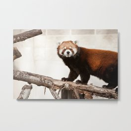 Oh Hai, Red Panda Metal Print