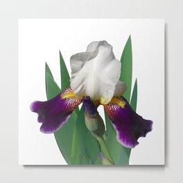 Violet and white Iris 'Wabash' Metal Print