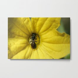 Tiny Insect Working in a Cucumber Flower (Photography: Critters and Creatures) Metal Print