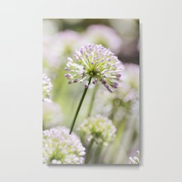 Allium - Onion Flowers 3 Metal Print