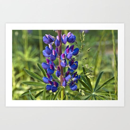 Summer Meadow with Blue Lupine Art Print