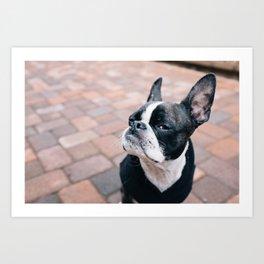 Bruce the Boston Terrier Pug Art Print
