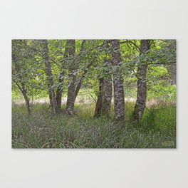ALDER TREES NEARING THE END OF SUMMER ON ORCAS ISLAND Canvas Print
