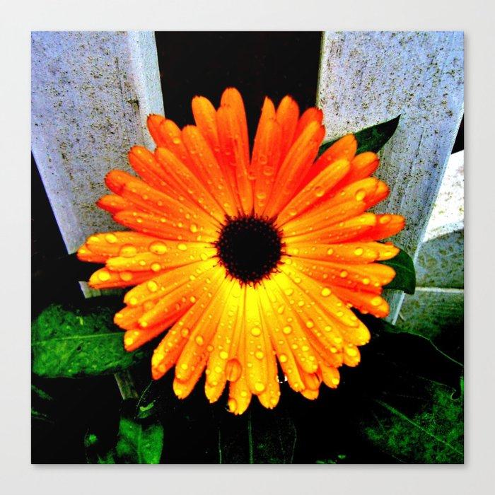 Orange Garden Marigold in the Evening Canvas Print