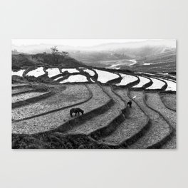 Horses on rice paddies in northern Vietnam Canvas Print