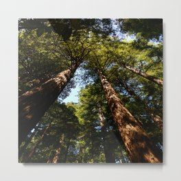 Sequioas Reaching  For The Sky Metal Print