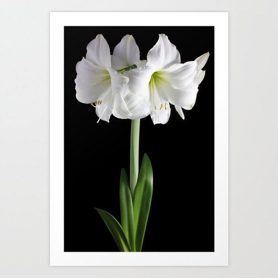 White amaryllis Art Print