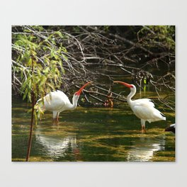 Ibis Dating Place Canvas Print