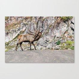 Wapiti Bugling (Bull Elk) Canvas Print