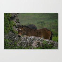 Dartmoor Foal Canvas Print