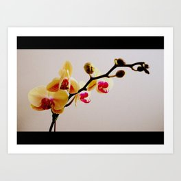 Yellow and Pink Orchid Art Print