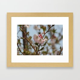 Blossoms on ice Framed Art Print