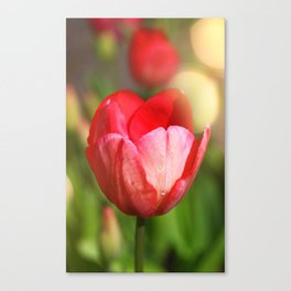 Tulip in the light of spring Canvas Print