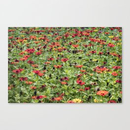 Orange, Yellow, and Red Zinnia Field in Nicaragua Canvas Print