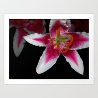 Star Lily Art Print
