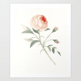 Rose of No Man's Land Art Print