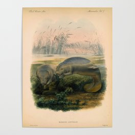 Vintage Scientific illustration, c. 1880 (Manatees) Poster