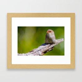 Female Superb Fairy-Wren Framed Art Print