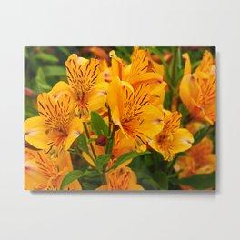 Alstroemeria 'Golden Delight' Metal Print