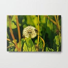 Last Dandelion in Sunlight Metal Print