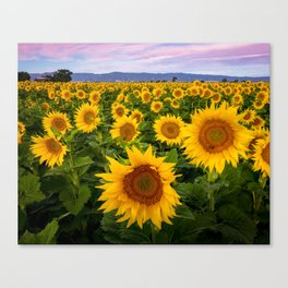 Field of Sunflowers, California Canvas Print