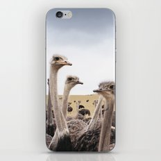Ostriches iPhone & iPod Skin