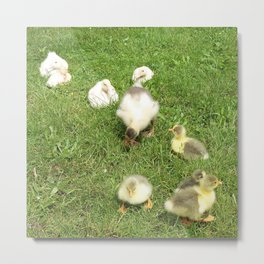 cute baby animals, small ducks and geese on a green meadow in summer Metal Print