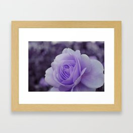 Lavender Rose 2 Framed Art Print
