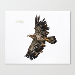 Immature Bald Eagle Canvas Print