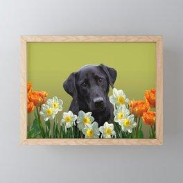White daffodils with Labrador retriever Framed Mini Art Print
