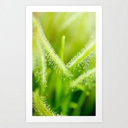 Green leaves of sundews Art Print